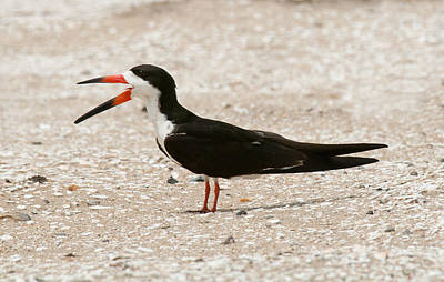 Black Skimmer On Assateague Island Poster by Lara Ellis