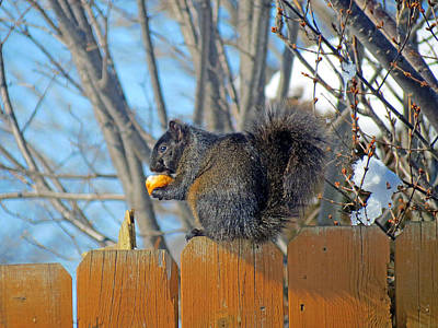 Black Squirrel Eating Corn On The Cob Poster by Kay Novy