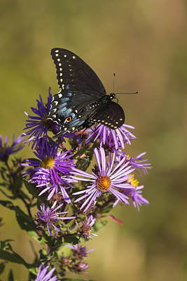 Black Swallowtail And Aster 2013-1  Poster by Thomas Young