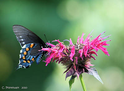Black Swallowtail And Raspberry Fizz Monarda 2 Poster
