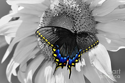 Black Swallowtail And Sunflower Color Splash Poster