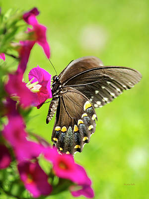 Poster featuring the photograph Black Swallowtail Butterfly by Christina Rollo