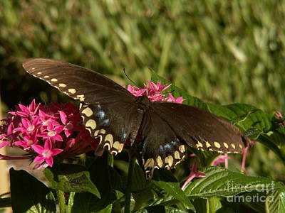 Black Swallowtail Butterfly On Pentas Poster