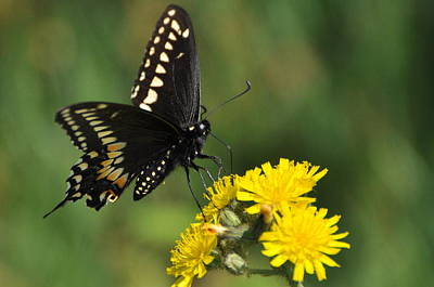 Black Swallowtail Poster by Gerald Hiam