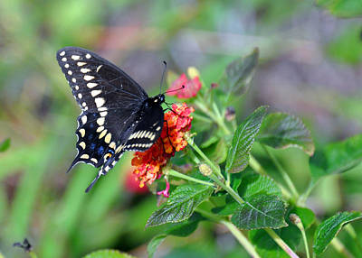 Poster featuring the photograph Black Swallowtail by Kay Lovingood