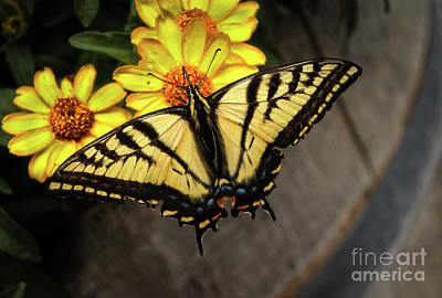 Black Swallowtail  Poster by Robert Bales