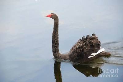 Black Swan Poster by Jan Daniels