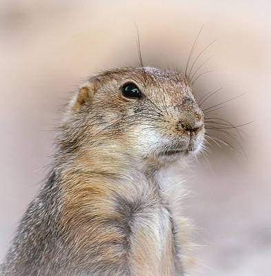 Black Tail Prairie Dog Poster by Elaine Malott