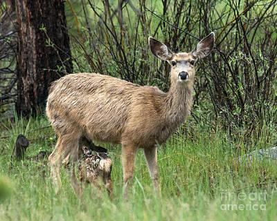 Black Tailed Deer Nursing A Newborn Poster by Dennis Hammer