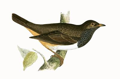 Black Throated Thrush Poster by English School