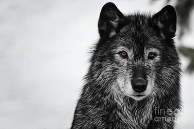 Black Wolf I Poster