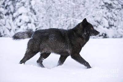 Black Wolf In Snow Poster by John Hyde - Printscapes