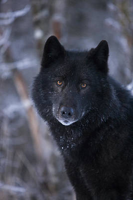 Black Wolf Portrait Poster by John Hyde - Printscapes