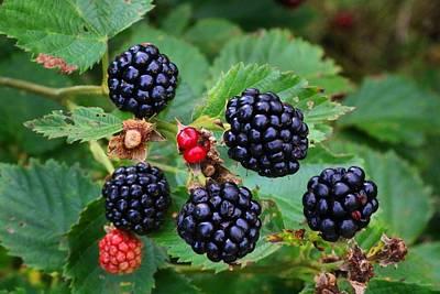 Blackberries 2 Poster