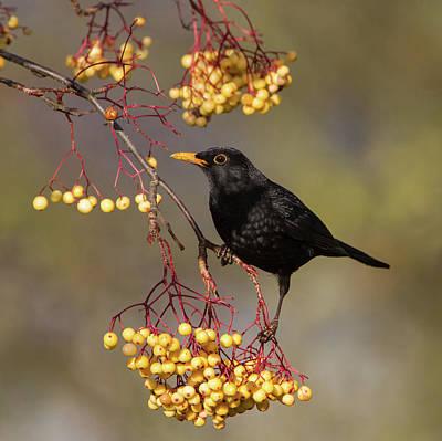 Blackbird Yellow Berries Poster