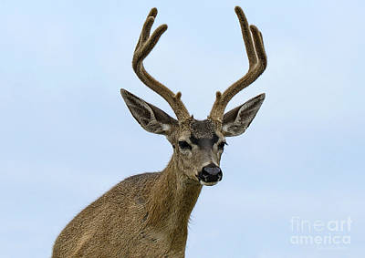 Blacktail Deer Showing Off Summer Antlers Poster