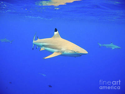 Blacktip Reef Shark Poster