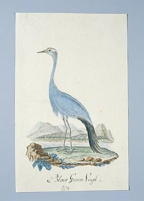 Blauwe Kraanvogel Anthropoides Paradisea, Attributed To Robert Jacob Gordon, 1777 - 1786 Poster