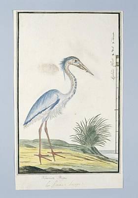 Blauwe Reiger Ardea Cinerea, Robert Jacob Gordon, 1777 - 1786 Poster