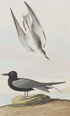 Blck Tern Poster by John James Audubon
