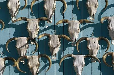 Bleached Cow Skulls Decorate A Wall Poster by Paul Chesley
