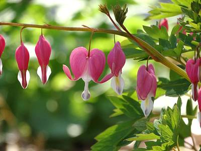 Bleeding Heart Blooming Poster by Rebecca Overton