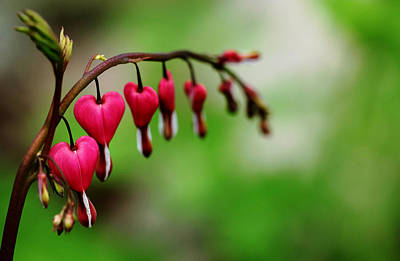 Poster featuring the photograph Bleeding Hearts Flower Of Romance by Debbie Oppermann