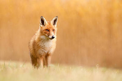 Blending In Or Standing Out - Red Fox And Yellow Reed Poster by Roeselien Raimond