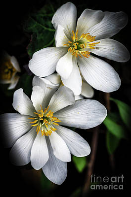 Bloodroot In Bloom Poster by Thomas R Fletcher