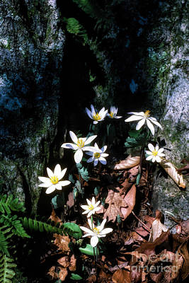 Bloodroot In Sunlight Poster by Thomas R Fletcher