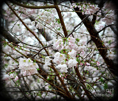 Blooming Apple Blossoms Poster by Eva Thomas