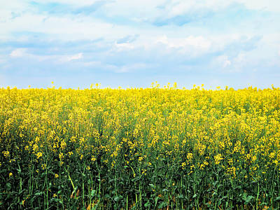 Blooming Canola - Photography Poster by Ann Powell