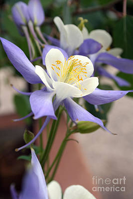 Poster featuring the photograph Blooming Columbine by Andrew Serff