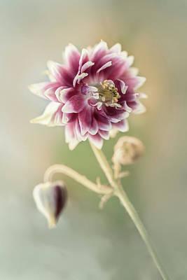 Blooming Columbine Flower Poster