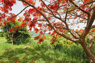 Blooming Flamboyan Tree Poster