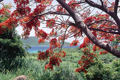 Blooming Flamboyan Tree Tamarindo Bay  Culebra Island  Puerto Rico Poster