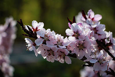 Blooming Peach Tree Poster