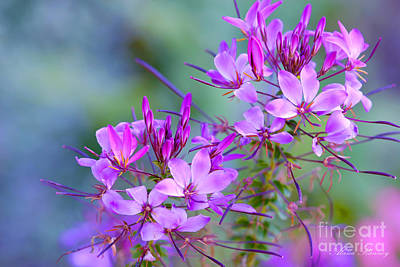 Poster featuring the photograph Blooming Phlox by Alana Ranney