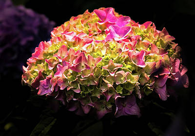 Poster featuring the photograph Blooming Pink Hydrangea by Onyonet  Photo Studios
