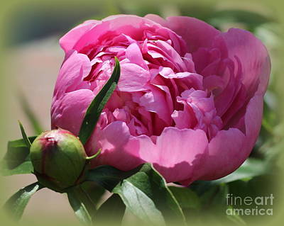 Blooming Pink Peony Poster
