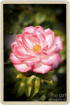 Blooming Pink Rose Poster by Stefano Senise