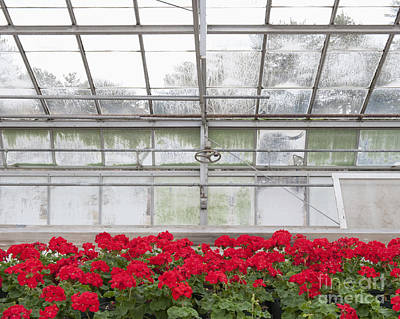 Blooming Red Geraniums Poster