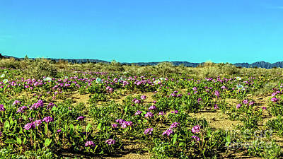 Poster featuring the photograph Blooming Sand Verbena by Robert Bales