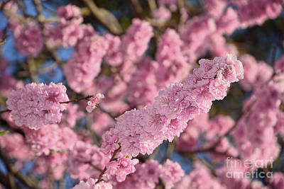 Blooming Spring Blossoms By Kaye Menner Poster