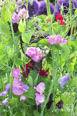Blooming Sweet Peas Poster by Tim Gainey