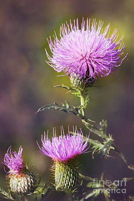 Blooming Thistle Poster