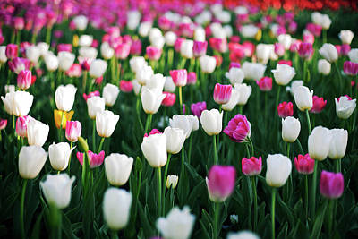 Blooming Tulips Poster