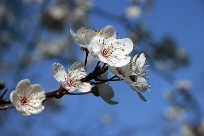 Blossom Poster by Martina Fagan