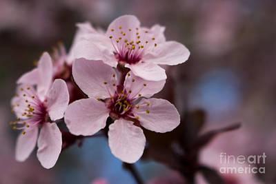 Blossom Trio Poster