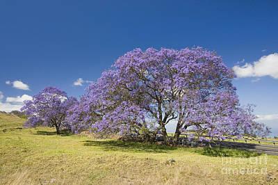Blossoming Jacaranda Poster by Dave Fleetham - Printscapes